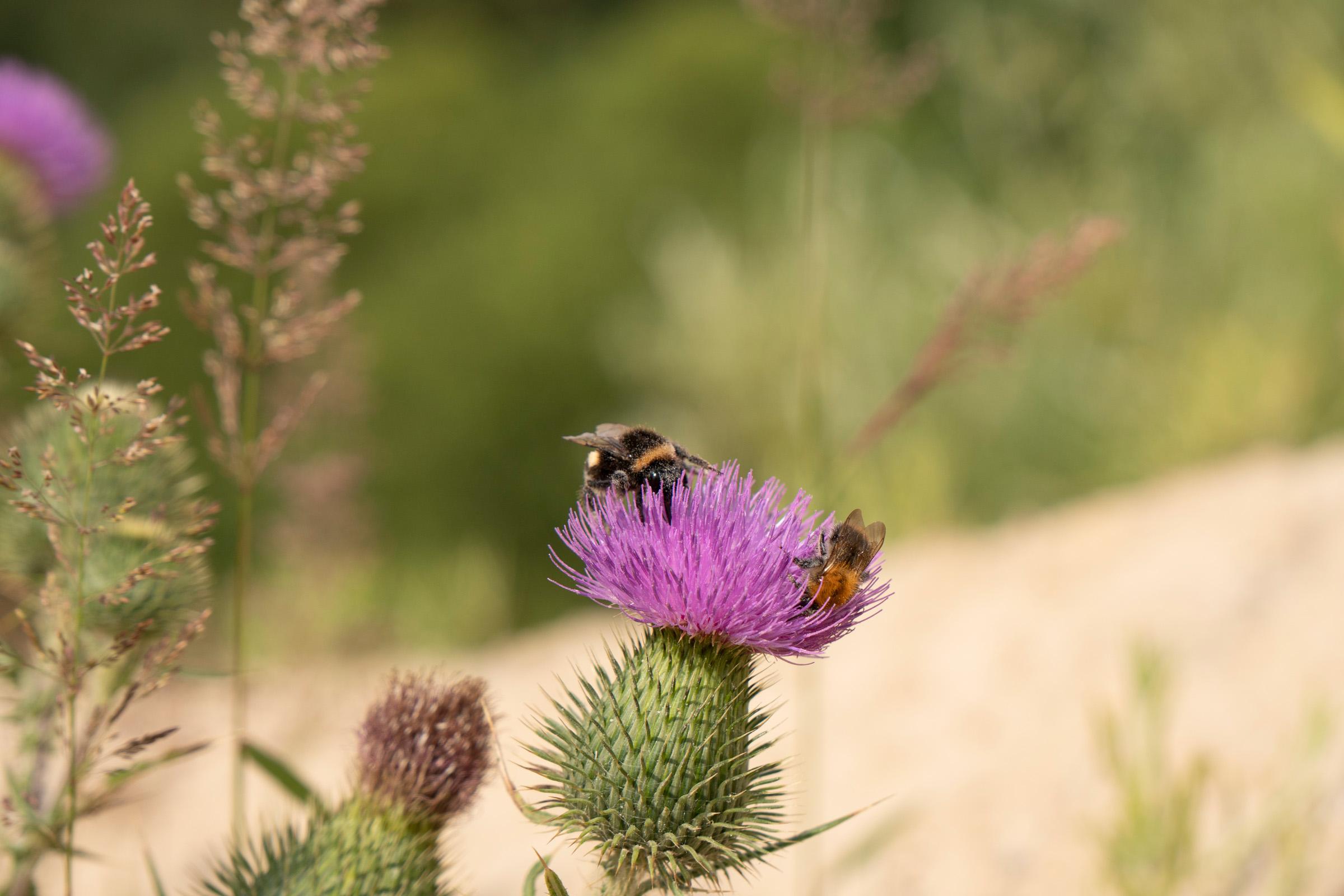 Bienen auf einer Lilafarbenen Diestel
